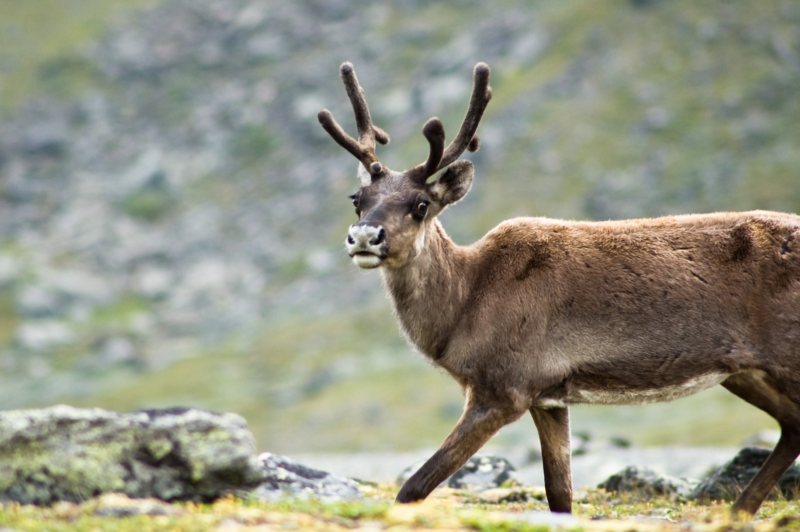 https://fasterskier.com/wp-content/blogs.dir/1/files/2016/07/Reindeer_in_Kebnekaise.jpg